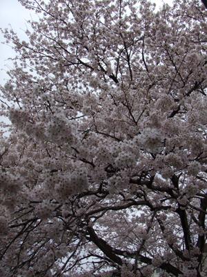 sakura10-03.JPG