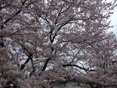sakura10-04.JPG